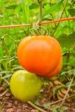 Pomodori che maturano sugli alberi Fotografia Stock