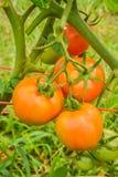 Pomodori che maturano sugli alberi Fotografie Stock