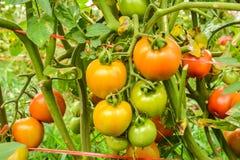 Pomodori che maturano sugli alberi Fotografie Stock Libere da Diritti