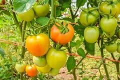 Pomodori che maturano sugli alberi Immagini Stock