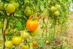 Pomodori che maturano sugli alberi Immagine Stock