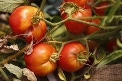 Pomodori ciliegia fotografia stock libera da diritti