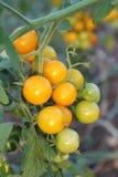 Pomodori ciliegia dolci fotografie stock