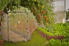 Pomodori ciliegia nella piantatura della serra Immagine Stock Libera da Diritti