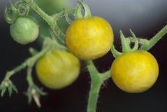 Pomodori ciliegia su una filiale verde Immagine Stock