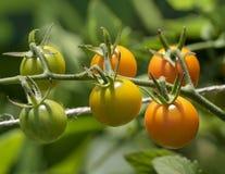 Pomodori ciliegia su una vite Immagini Stock Libere da Diritti