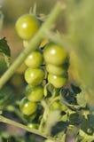Pomodori ciliegia verdi Fotografie Stock
