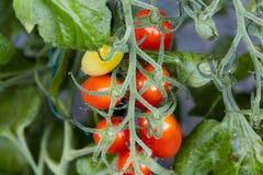 Pomodori coltivati auto su una pianta di pomodori nel giardino Fotografia Stock