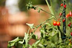 Pomodori coltivati auto su una pianta di pomodori nel giardino Fotografie Stock