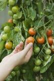 Pomodori commoventi della mano sulla pianta Immagine Stock Libera da Diritti