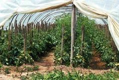 Pomodori crescenti Fotografia Stock Libera da Diritti