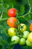 Pomodori crescenti Fotografie Stock