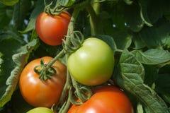 Pomodori crescenti. Fotografia Stock