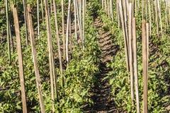 Pomodori crescenti Immagine Stock