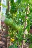 Pomodori crescenti Fotografia Stock