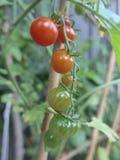 Pomodori crescenti Immagini Stock Libere da Diritti