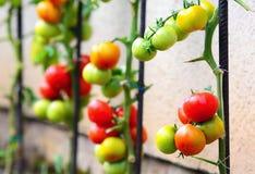 Pomodori crescenti Fotografie Stock Libere da Diritti
