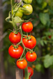 Pomodori crescenti del giardino Fotografie Stock