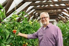 Pomodori crescenti dell'uomo senior alla serra dell'azienda agricola Immagini Stock