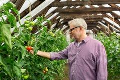Pomodori crescenti dell'uomo senior alla serra dell'azienda agricola Immagine Stock