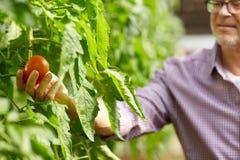 Pomodori crescenti dell'uomo senior alla serra dell'azienda agricola Immagini Stock Libere da Diritti