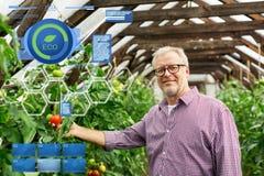 Pomodori crescenti dell'uomo senior alla serra dell'azienda agricola Fotografia Stock