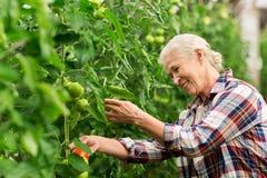 Pomodori crescenti della donna senior alla serra dell'azienda agricola Fotografia Stock
