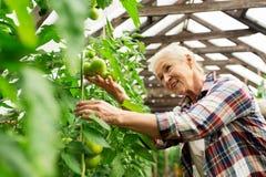Pomodori crescenti della donna senior alla serra dell'azienda agricola Immagini Stock Libere da Diritti