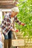 Pomodori crescenti della donna senior alla serra dell'azienda agricola Immagini Stock