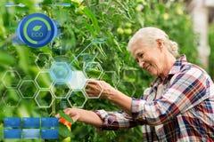 Pomodori crescenti della donna senior alla serra dell'azienda agricola Immagine Stock