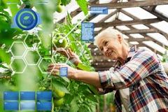 Pomodori crescenti della donna senior alla serra dell'azienda agricola Fotografie Stock