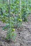 Pomodori crescenti facendo uso dei pali del pomodoro Fotografia Stock
