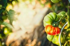 Pomodori crescenti in giardino soleggiato Immagine Stock
