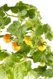 Pomodori crescenti, isolati Immagine Stock Libera da Diritti