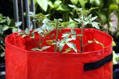 Pomodori crescenti nei sacchetti di plastica Fotografia Stock Libera da Diritti