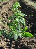 Pomodori crescenti nella base del giardino Fotografia Stock