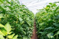 Pomodori crescenti nella serra La tecnologia di irrigazione a goccia in serra Fotografie Stock