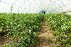 Pomodori crescenti nella serra La tecnologia di irrigazione a goccia in serra Immagini Stock Libere da Diritti