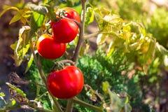 pomodori crescenti rossi con verde Fotografie Stock Libere da Diritti