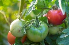 pomodori crescenti rossi con verde Fotografia Stock Libera da Diritti