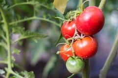pomodori crescenti rossi con verde Fotografia Stock