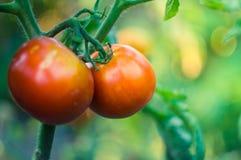 pomodori crescenti rossi con verde Immagine Stock