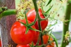 Pomodori crescenti in serra Immagini Stock