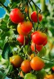Pomodori crescenti in una serra Immagine Stock