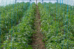 Pomodori crescenti in una serra Fotografia Stock