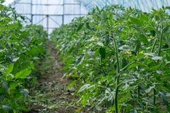 Pomodori crescenti in una serra Immagini Stock
