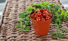 Pomodori crescenti - vaso della pianta di terracotta Fotografia Stock