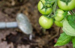Pomodori d'innaffiatura Immagini Stock