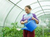 Pomodori d'innaffiatura del giardiniere Immagine Stock Libera da Diritti