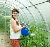 Pomodori d'innaffiatura del giardiniere Fotografia Stock Libera da Diritti